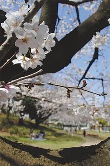 園内を一斉に彩る桜。多くの花見客の楽しげな笑い声が響いていた(3月21日午前11時40分ごろ撮影)