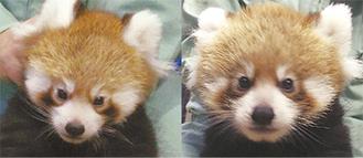 生まれた双子のレッサーパンダ