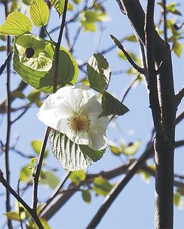 花びらのように見える白い大きな苞葉(ホウヨウ)が特徴
