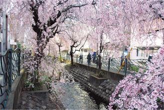 「二子新生橋」付近のしだれ桜(昨年)