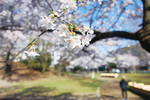 一面にソメイヨシノが咲き誇る梶ヶ谷1公園