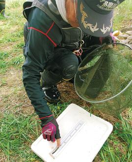 釣れた鮎の大きさを測る組合員。小ぶりなものが目立った