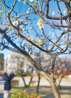 白梅はこれから見ごろを迎える(2月10日撮影)