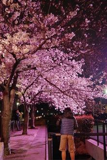 ライトアップされた巌川橋地点の桜(昨年)