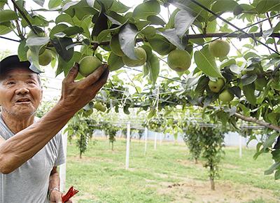梨の収穫間近