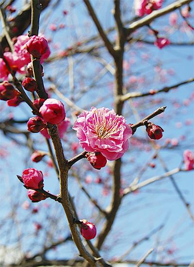 冬空に梅、春の兆し