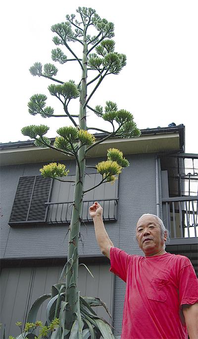 竜舌蘭が花つける