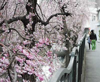 桜開花、春の装い