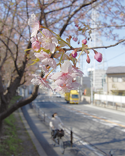 河津桜 春風に揺れる