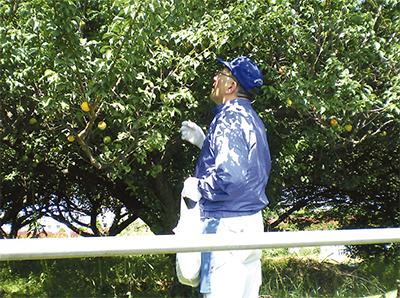 高津産の梅 今年も収穫
