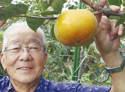 大玉柿「太秋(たいしゅう)」を収穫