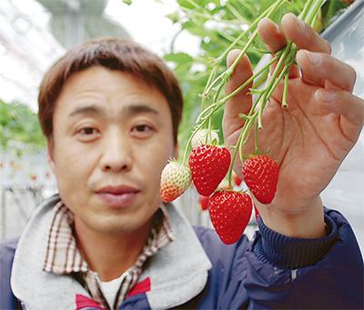 高津産イチゴ、収穫ピーク