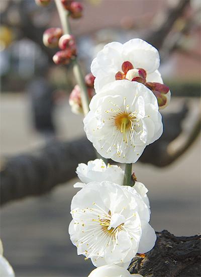 梅の花開き街に彩り