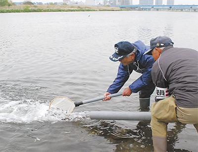 多摩川に鮎5万匹放流