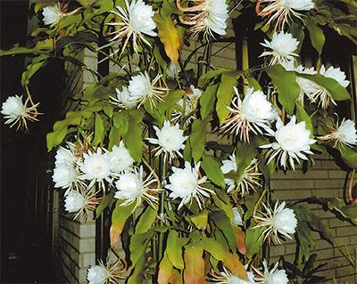 咲くのは一晩だけ「月下美人」32輪
