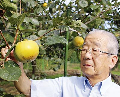 大玉の柿 今年も収穫期