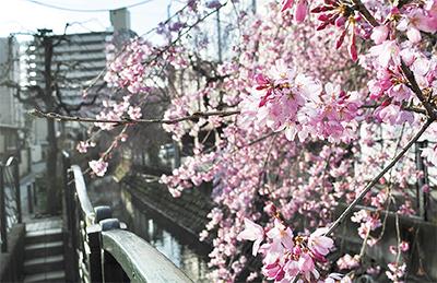 枝垂れ桜、二ヶ領彩る