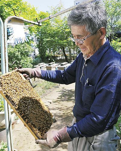 千年の蜂蜜、収穫ピーク