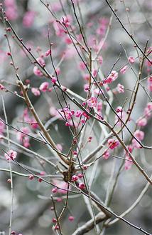 この時期に花をつけているのは早咲きの寒紅梅