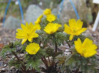 地面から約10センチの高さに黄色い花をつける福寿草