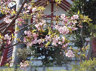 6分咲きの菅薬師堂の河津桜(3月27日撮影)