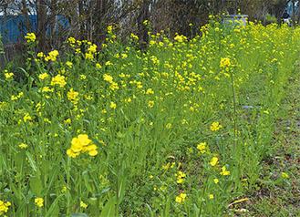 黄色が鮮やかな菜の花(稲田公園)