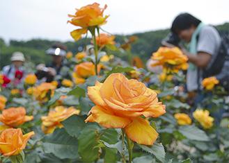 満開を迎えたバラ(先月26日撮影)