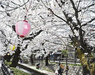 道行く人々が見上げる宿河原の桜並木(撮影:3月23日)