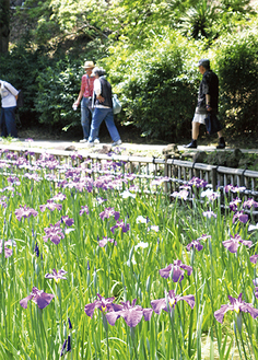 白と紫のコントラストが美しい(5月31日撮影)