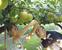 「多摩川梨」収穫始まる