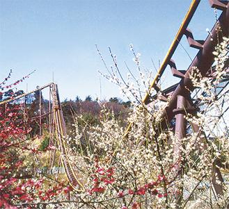 寒紅梅や白加賀が咲き乱れる