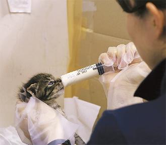 ミルクを与えられる生後1カ月の子猫。市民の寄附でつながる命がある