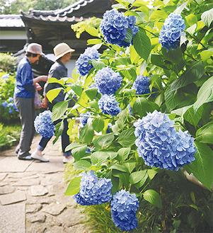 妙楽寺に咲くアジサイ=9日撮影