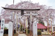 しだれ桜、境内包み