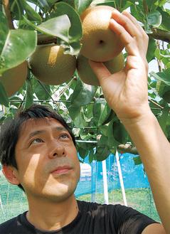 梨の様子を確認する斉藤さん=7月30日