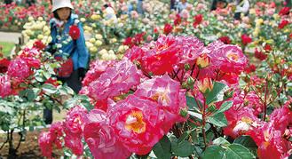 バラが咲き誇る苑内(今春)