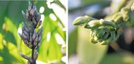 温室のバニラ 初開花へ