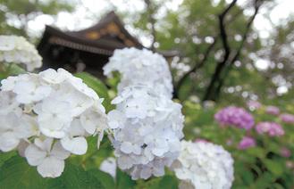 妙楽寺の境内を彩るアジサイ=8日撮影