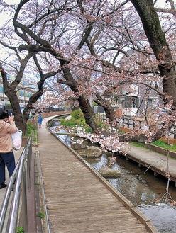 桜が開花し始めた流域=17日