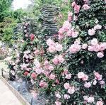 春ならではの「つるバラ」