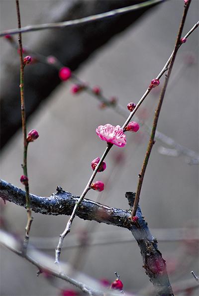 春遠く開花遅れ