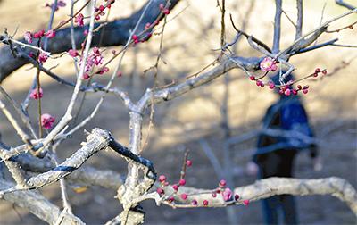 厳冬で梅の蕾かたく