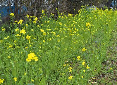 春を彩る「菜の花まつり」