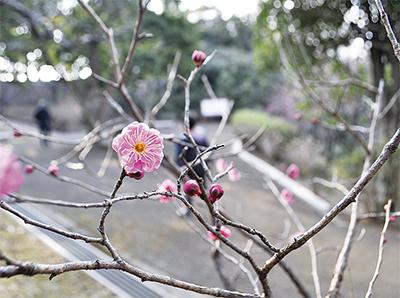梅の花ちらほら