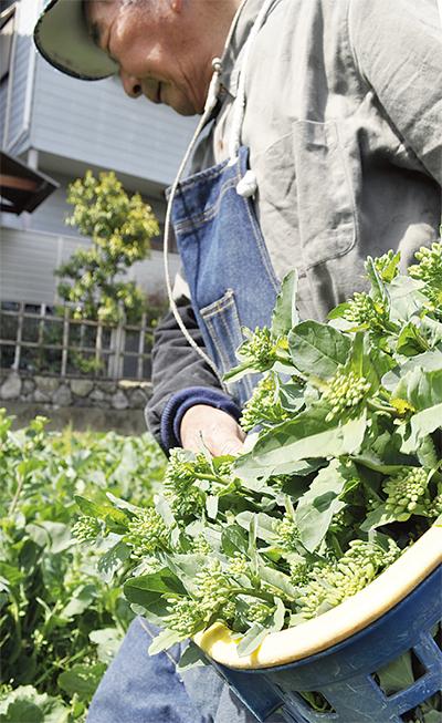 のらぼう菜 収穫佳境に