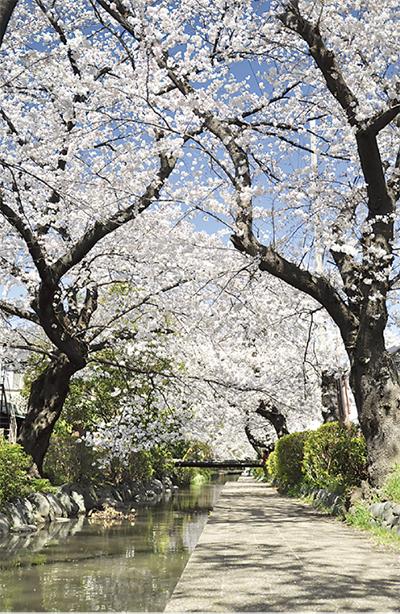 二ヶ領用水各地で桜まつり