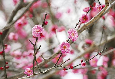 生田緑地、梅の花開く