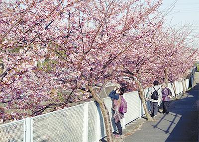 河津桜、満開に