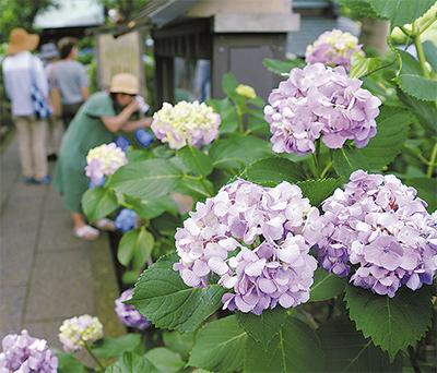 アジサイ20種 咲き競う