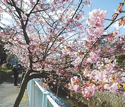 春薫る河津桜